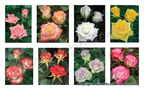 jenis-jenis-mawar