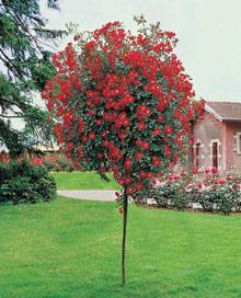 Mawar Pohon