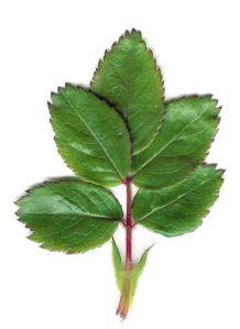 Rose_Leaf